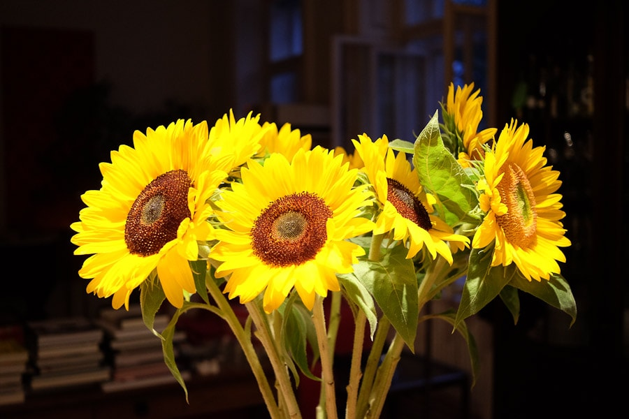 sonnenblumen-7630